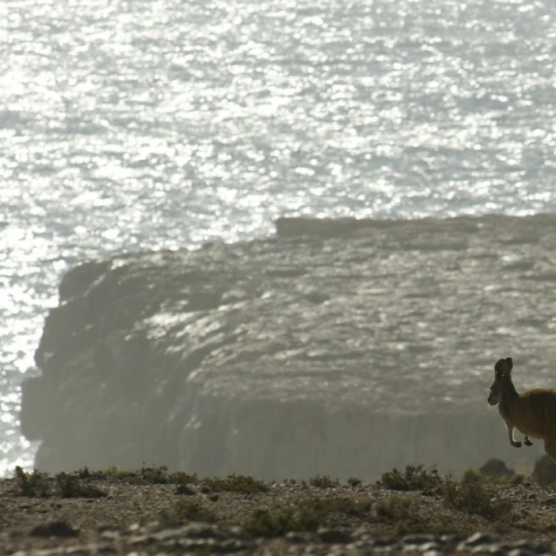 Kangaroo seems to escape Australia at Steep Point