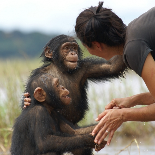 Vula playing with orphan chimpanzees in Cameroun
