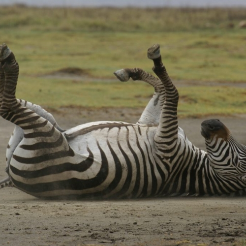 Really excited this Zebra, Ngorongoro crater