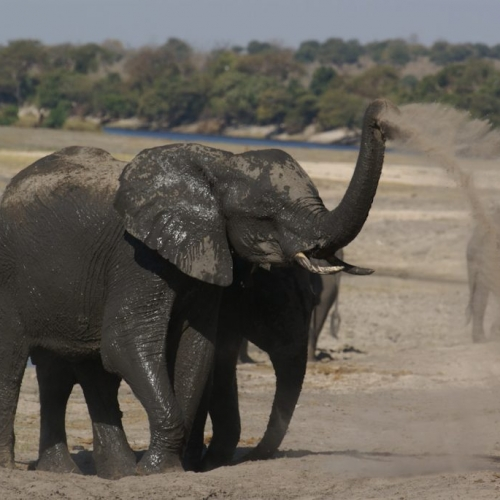 Happy elephants in Chobe park, Botswana