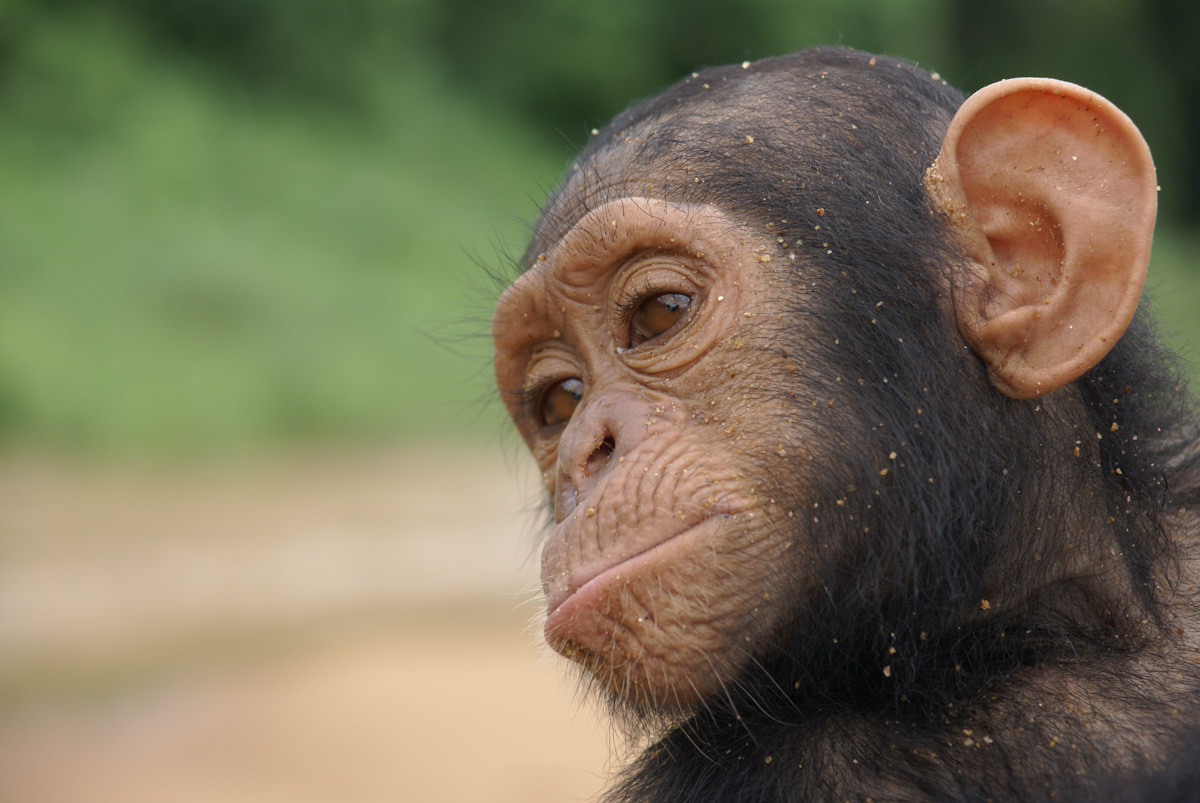 Young chimpanzee in Cameroun