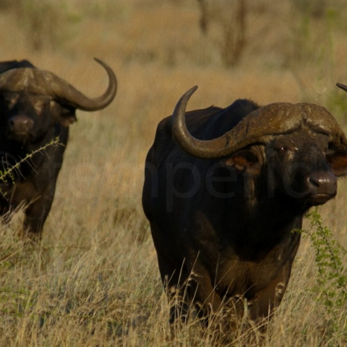 The mighty buffalos of Kruger Park, South Africa