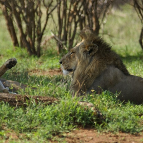 A couple of lions in Kruger Park, South Africa