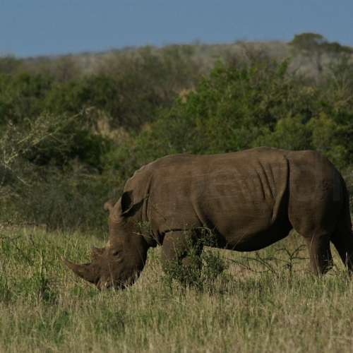 Lonely Rhino in Kruger Park